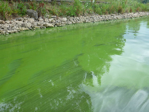cyanobacteria blue green algae essay Are cyanobacteria (fiblue-green algaefl) toxicwhat are cyanobacteria (fiblue-green algaefl)cyanobacteria, often referred to as fiblue-green algae,fl are a group of microscopic.